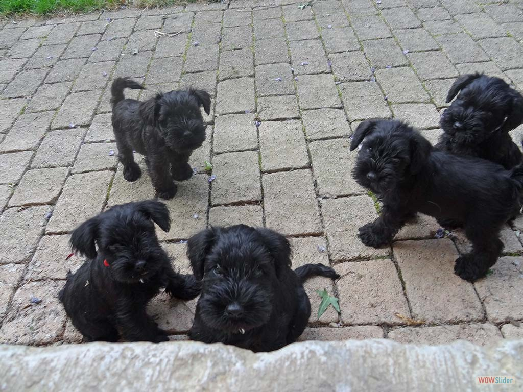 chiots 7 semaines